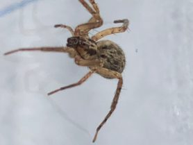 Picture of Anyphaena spp. - Dorsal