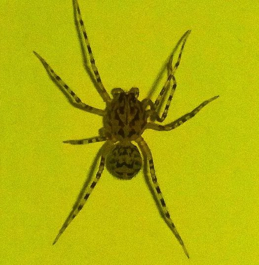 Picture of Scytodes thoracica - Dorsal