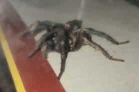 Picture of Calisoga spp. (False Tarantulas) - Lateral