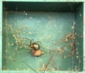 Picture of Nesticodes rufipes (Red House Spider) - Female - Egg sacs,Lateral,Webs