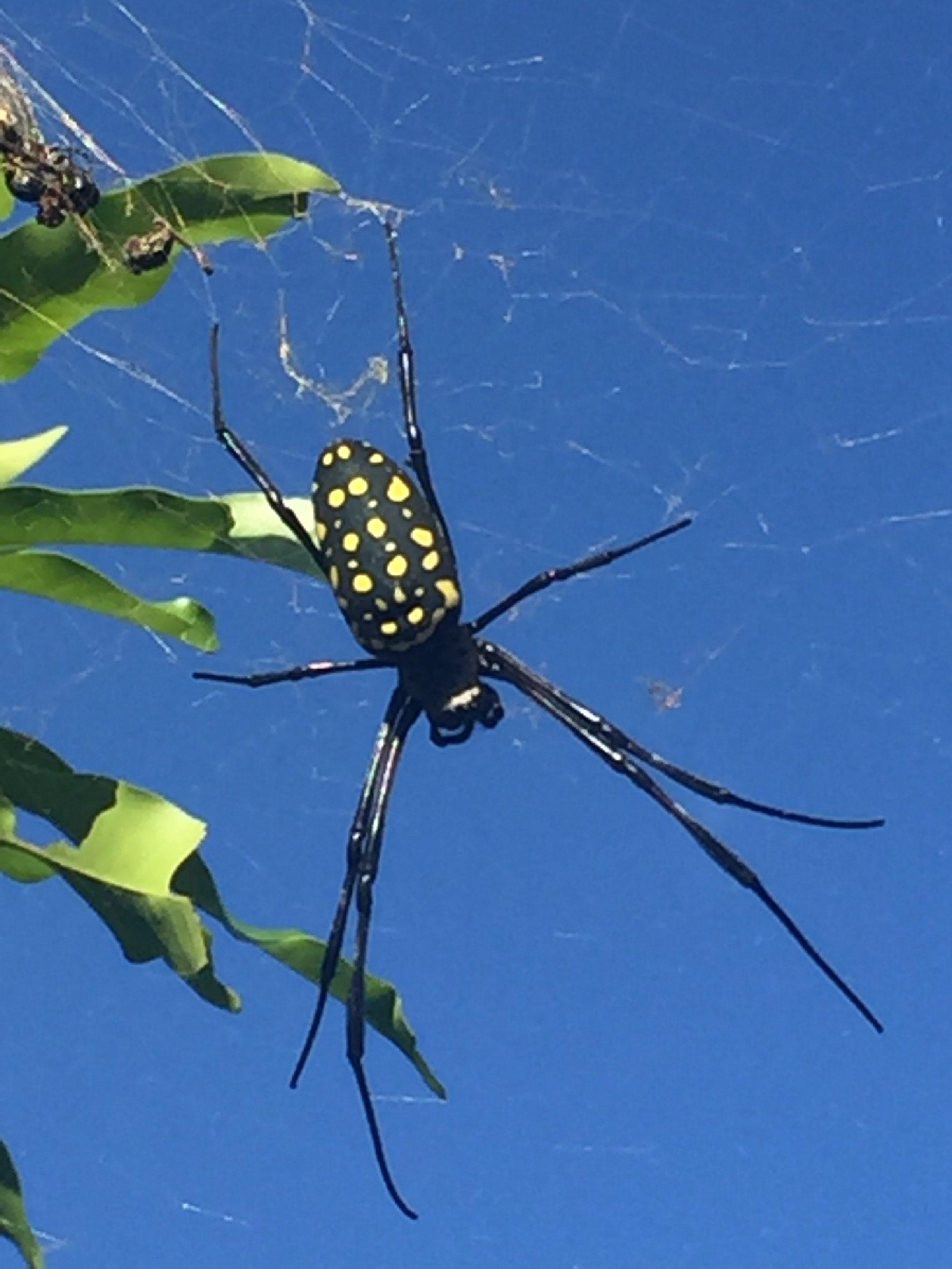 Picture of Trichonephila antipodiana (Batik Golden Web Spider) - Female - Dorsal,Webs