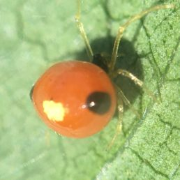 Featured spider picture of Theridula emertoni