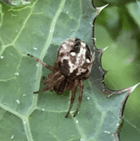 Picture of Neoscona arabesca (Arabesque Orb-weaver) - Dorsal