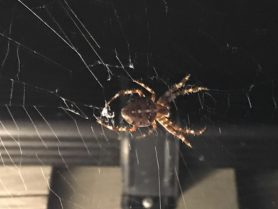 Picture of Araneus diadematus (Cross Orb-weaver) - Dorsal,Webs