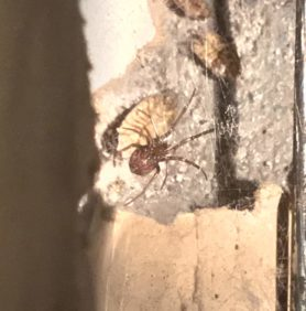 Picture of Steatoda grossa (False Black Widow) - Ventral,Webs