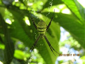 Picture of Argiope aemula (Oval St. Andrew's Cross Spider) - Dorsal,Webs