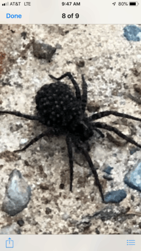 Picture of Tigrosa georgicola - Female - Dorsal,Spiderlings