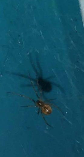 Picture of Steatoda triangulosa (Triangulate Cobweb Spider) - Ventral