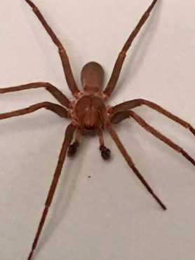 Picture of Zoropsidae (False Wolf Spiders) - Male - Dorsal