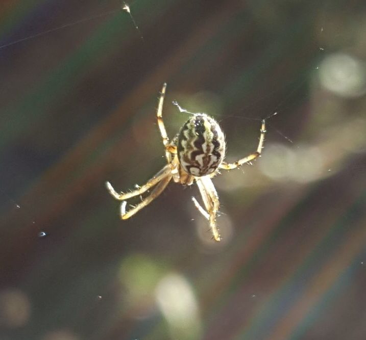 Picture of Neoscona adianta (Bordered Orb-weaver) - Dorsal