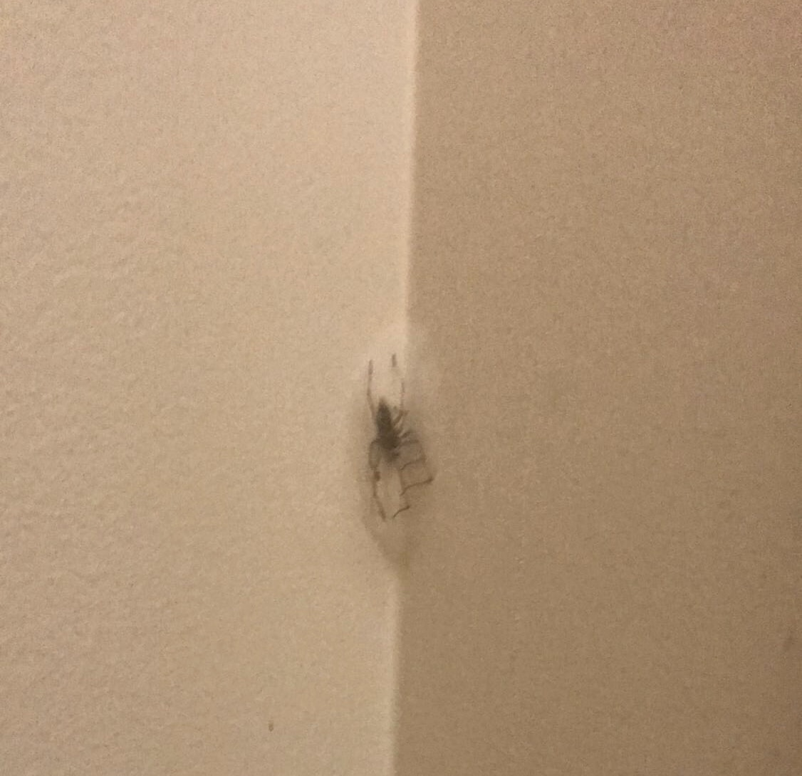 Picture of Cheiracanthium mildei (Long-legged Sac Spider) - Male - Dorsal,Webs,In Retreat