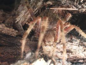 Picture of Araneidae (Orb-weavers) - Eyes