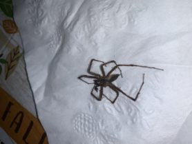 Picture of Agelenopsis spp. (Grass Spiders) - Male - Dorsal