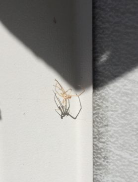Picture of Tetragnatha spp. - Exuviae