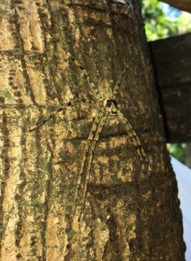 Picture of Heteropoda spp. - Dorsal