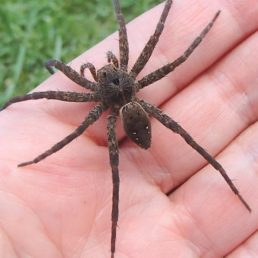 Featured spider picture of Dolomedes vittatus