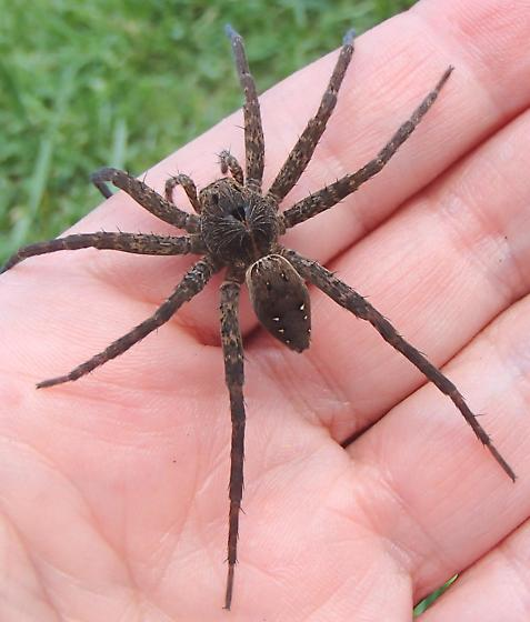 Picture of Dolomedes vittatus - Female - Dorsal