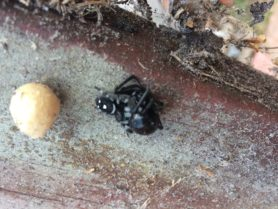 Picture of Phidippus regius (Regal Jumping Spider) - Dorsal,Egg sacs,Prey