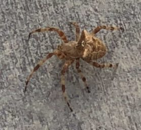 Picture of Araneus spp. (Angulate & Round-shouldered Orb-weavers) - Dorsal