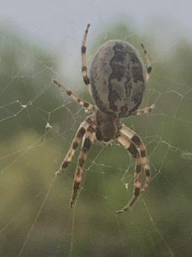 Picture of Larinioides cornutus (Furrow Orb-weaver) - Dorsal,Webs