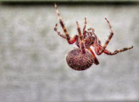 Picture of Neoscona crucifera (Hentz Orb-weaver) - Webs