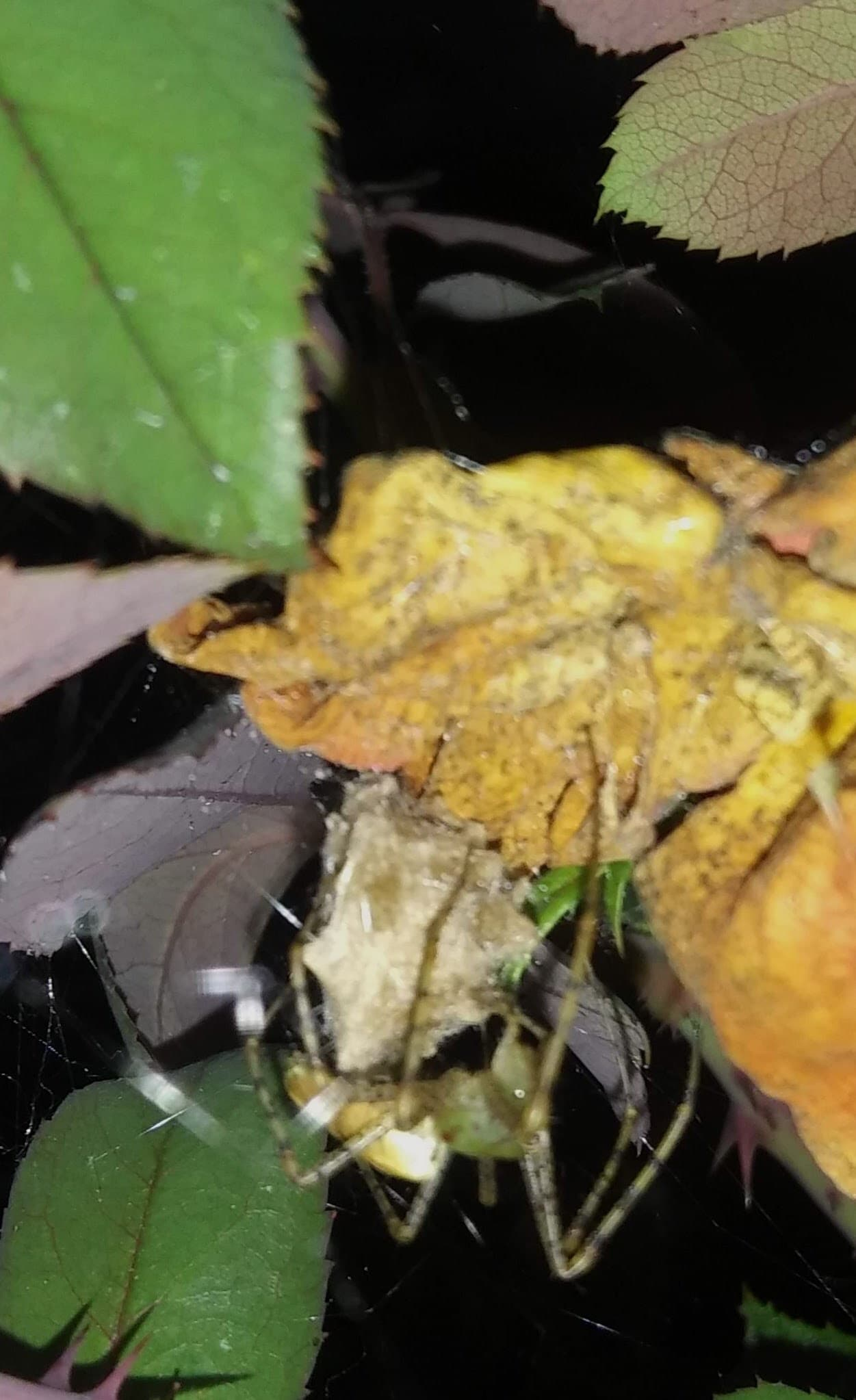 Picture of Peucetia viridans (Green Lynx Spider) - Female - Egg sacs,Lateral