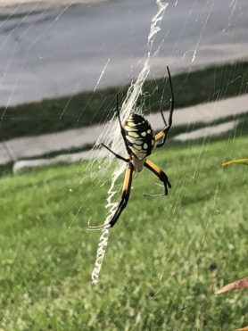 Picture of Argiope aurantia (Black and Yellow Garden Spider) - Lateral,Webs