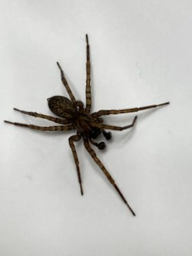 Picture of Coras spp. (Funnel Web Spiders) - Male - Dorsal