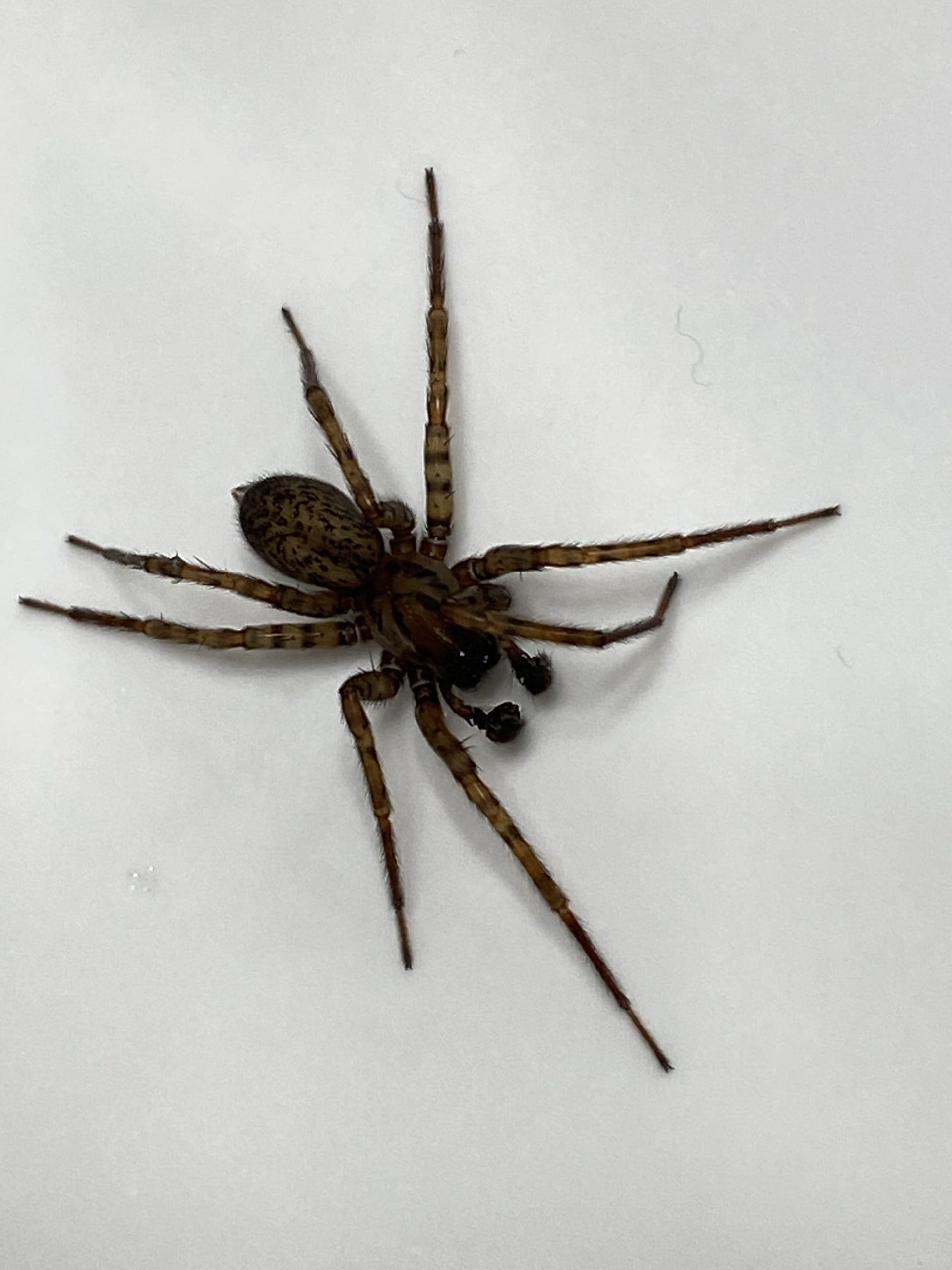 Picture of Coras (Funnel Web Spiders) - Male - Dorsal