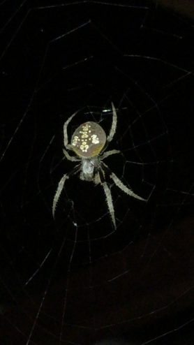 Picture of Eriophora ravilla (Tropical Orb-weaver) - Dorsal,Webs