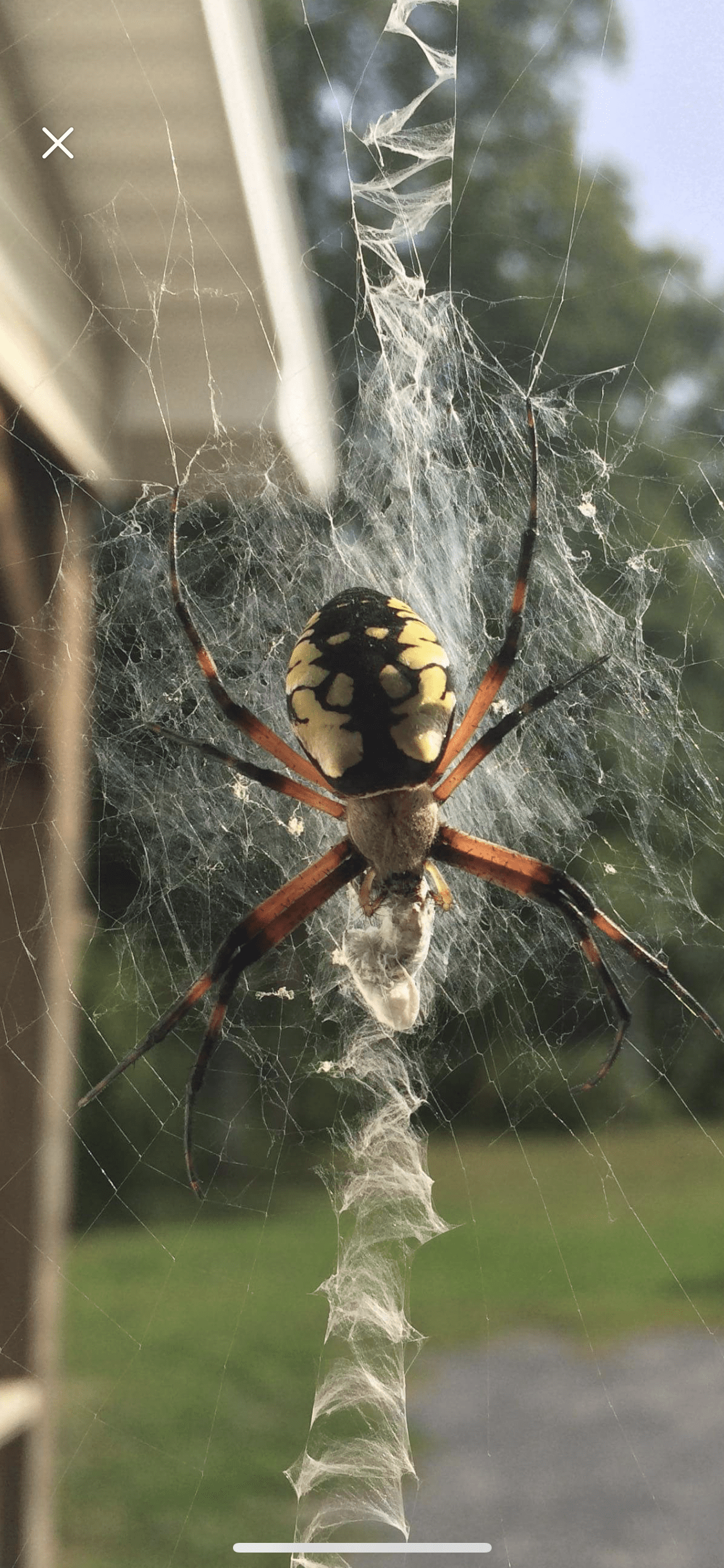 Picture of Argiope aurantia (Black and Yellow Garden Spider) - Female - Dorsal,Webs,Prey