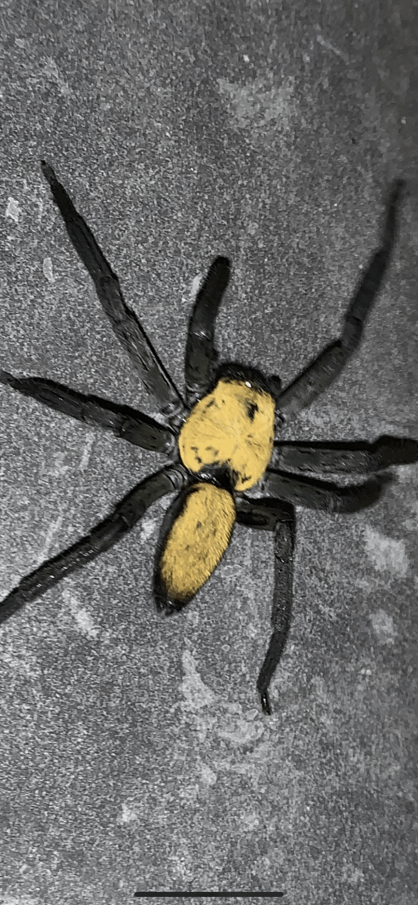 Picture of Thelcticopis - Dorsal
