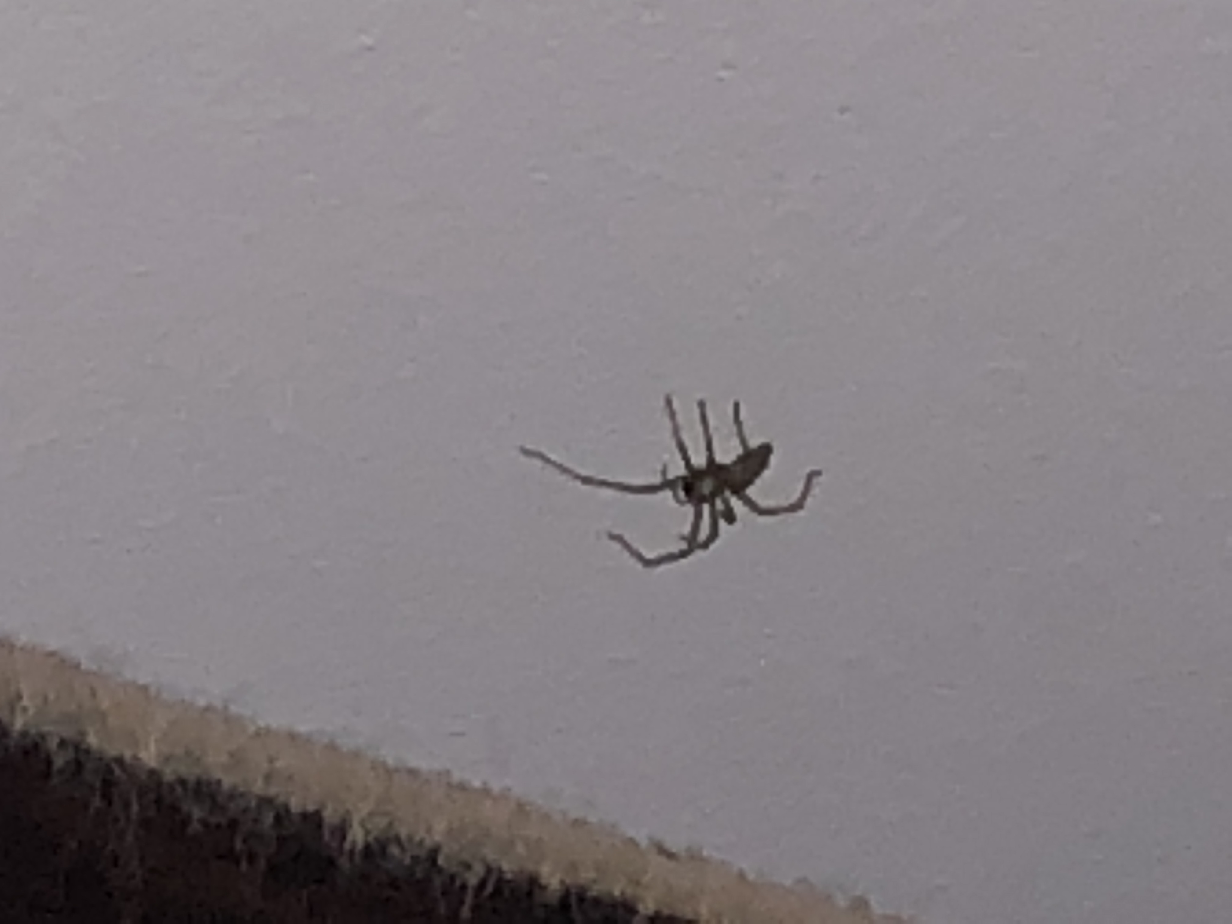 Picture of Cheiracanthium mildei (Long-legged Sac Spider) - Lateral