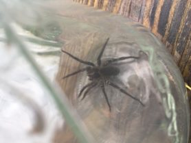 Picture of Tigrosa aspersa (Tiger Wolf Spider) - Dorsal