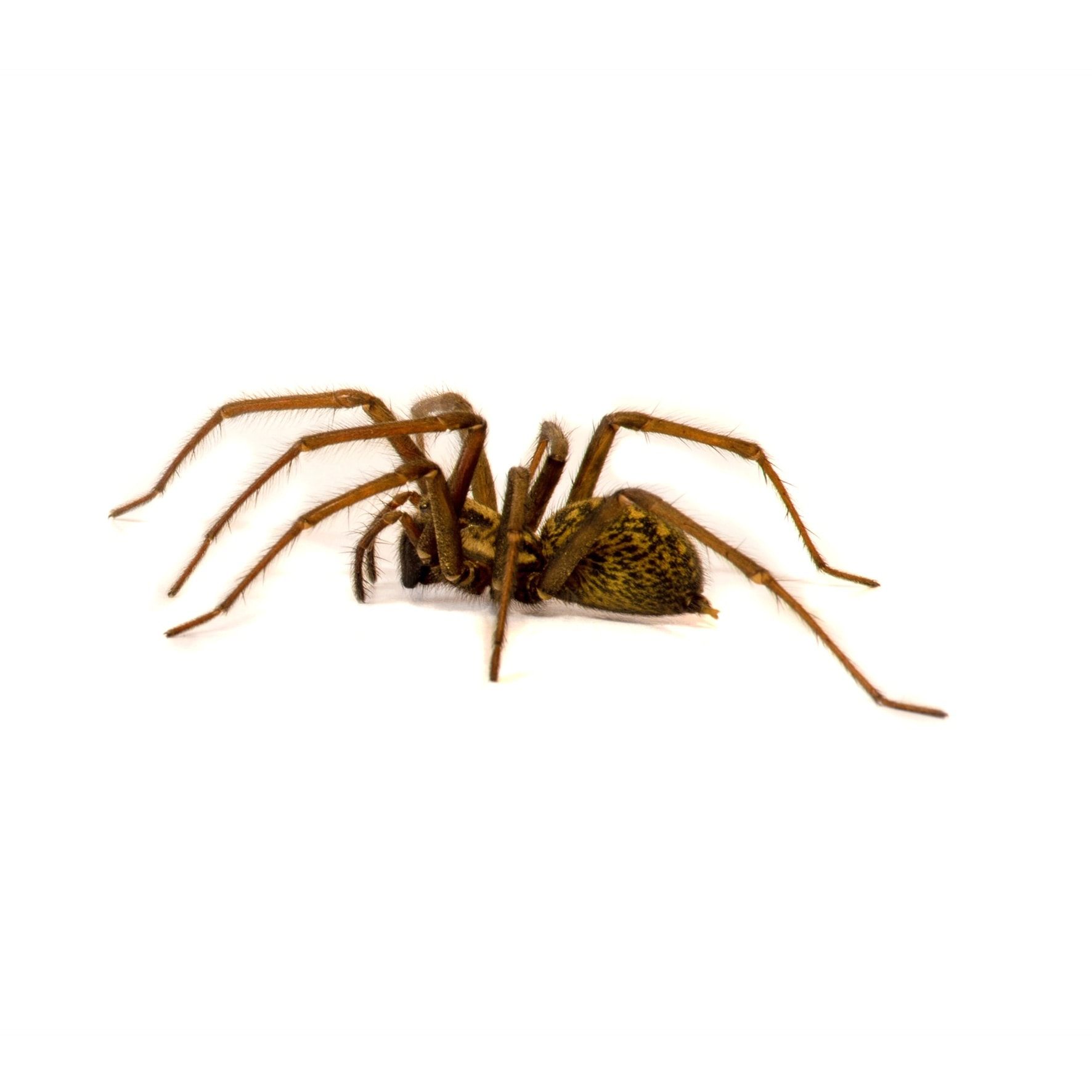 Picture of Eratigena duellica (Giant House Spider) - Lateral