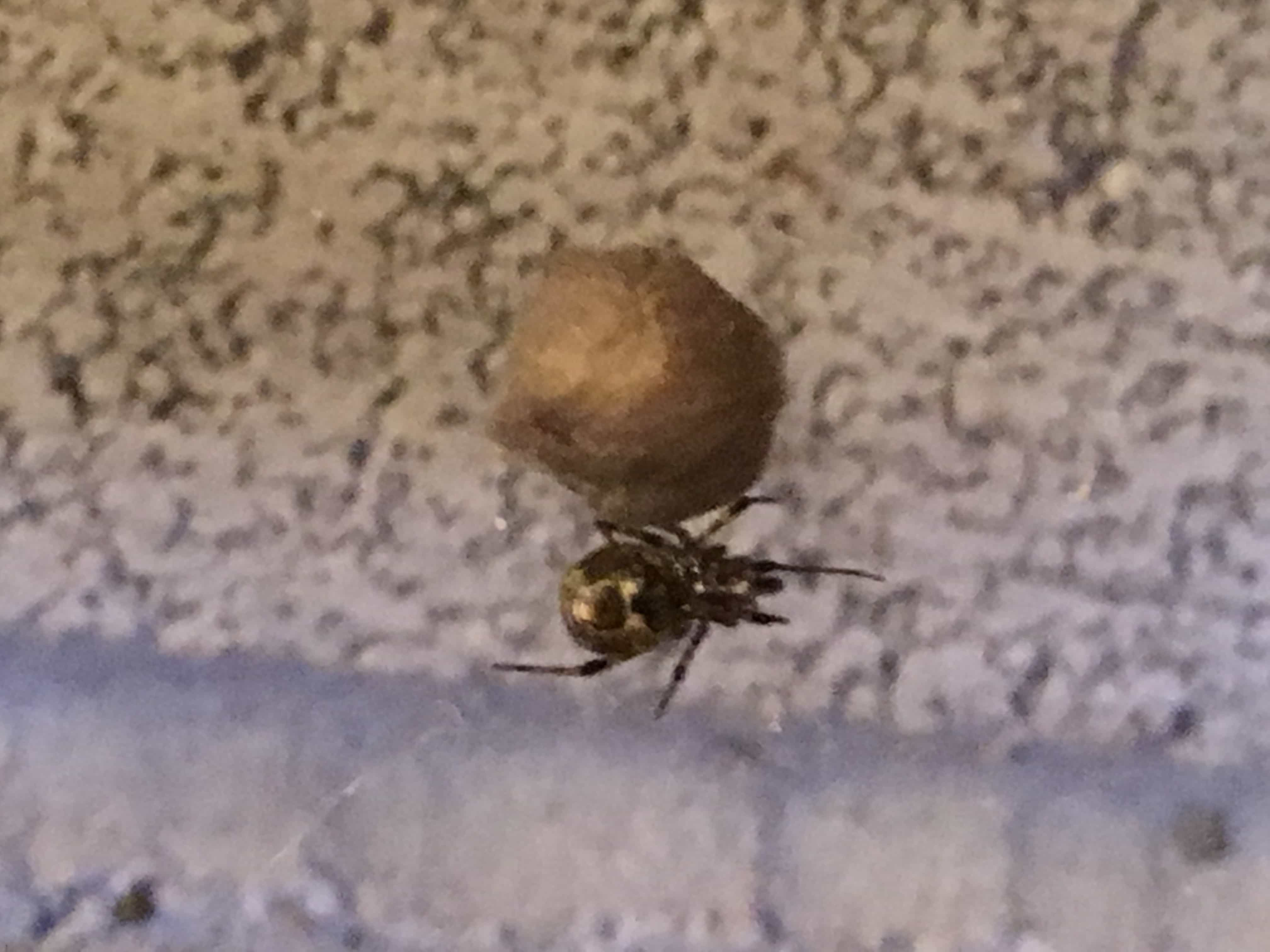 Picture of Parasteatoda - Egg sacs,Ventral