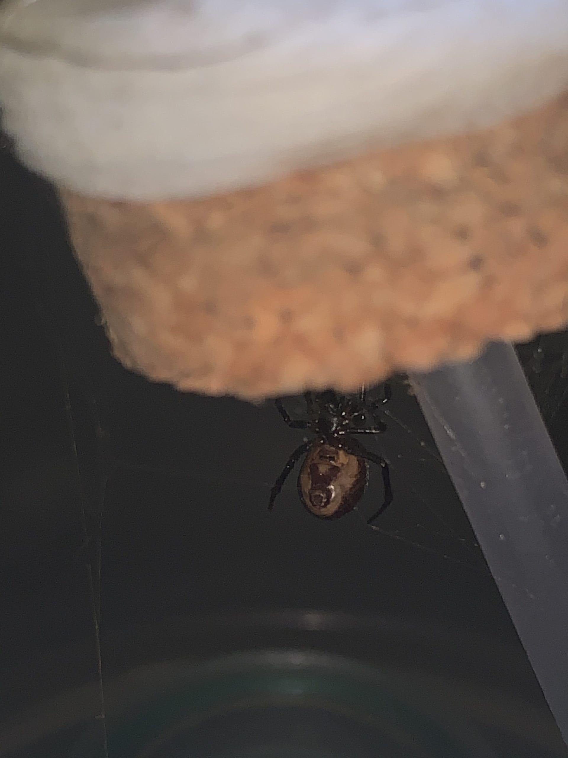 Picture of Steatoda (False Widows) - Female - Ventral