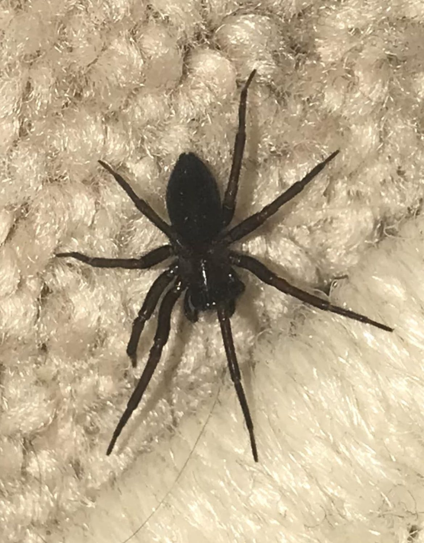 Picture of Metaltella simoni (Hacklemesh Weaver) - Female - Dorsal