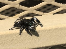 Picture of Phidippus audax (Bold Jumper) - Male - Lateral