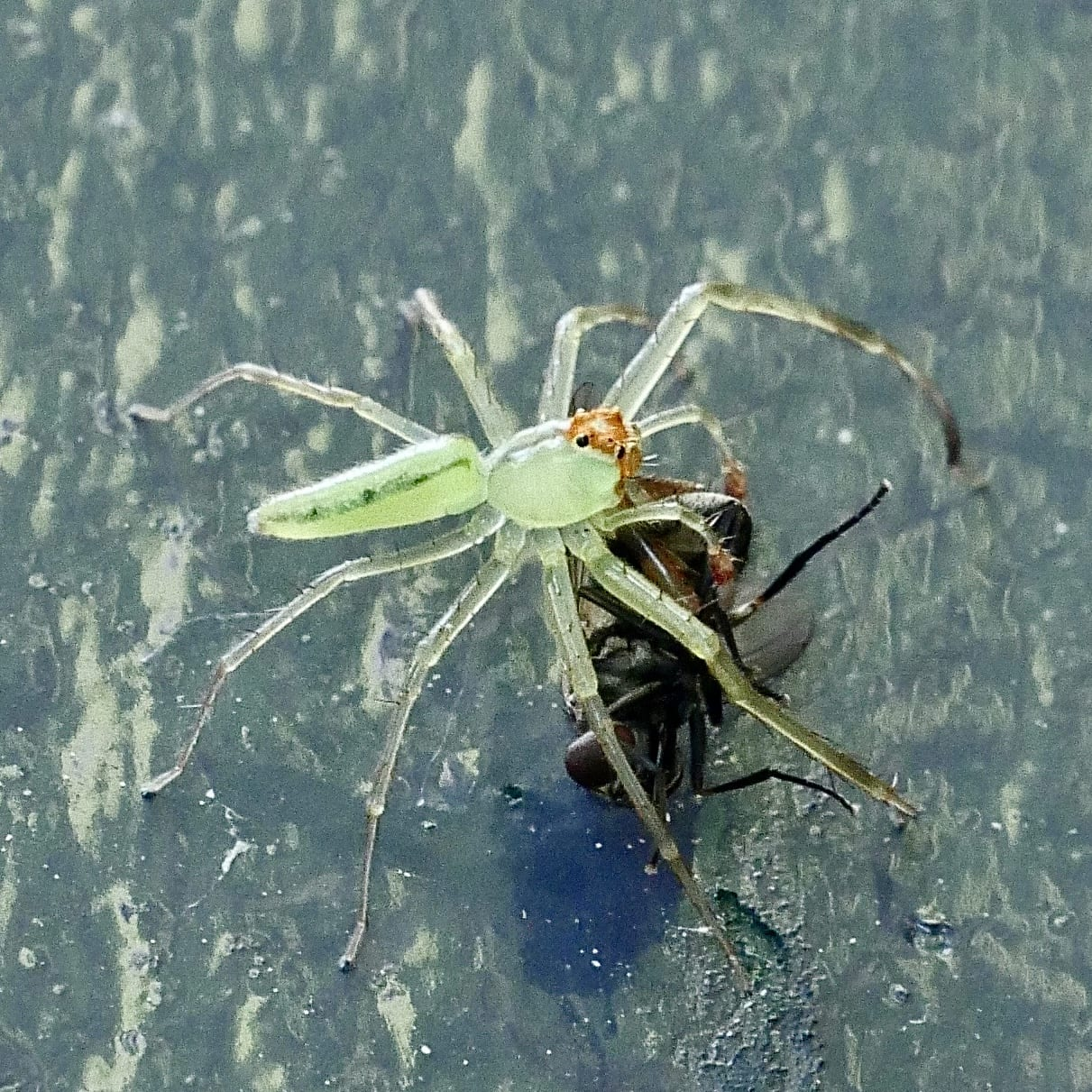 Picture of Lyssomanes viridis (Magnolia Green Jumper) - Male - Lateral,Prey