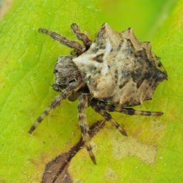 Featured spider picture of Acanthepeira stellata (Star-bellied Orb-weaver)
