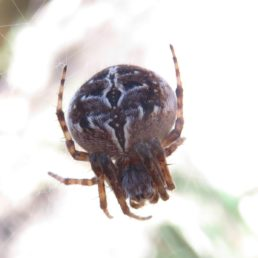 Featured spider picture of Agalenatea redii (Gorse Orb-weaver)