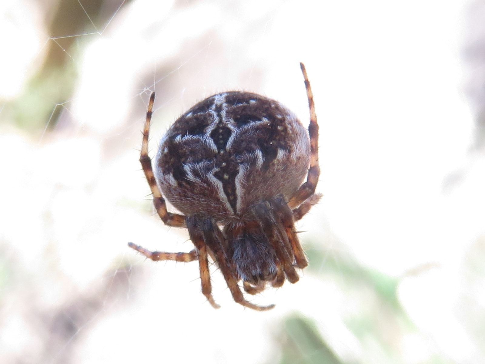 Picture of Agalenatea redii (Gorse Orb-weaver) - Female - Dorsal
