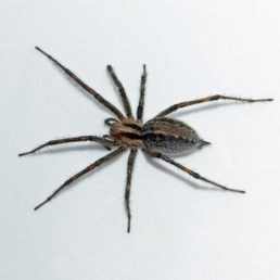 Featured spider picture of Agelenopsis actuosa