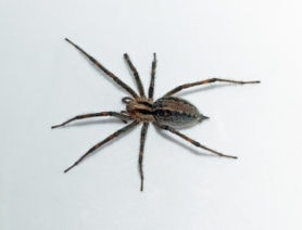 Picture of Agelenopsis actuosa - Female - Dorsal