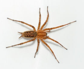 Picture of Agelenopsis potteri - Female - Dorsal