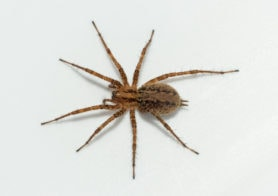 Picture of Agelenopsis utahana - Female - Dorsal
