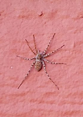 Picture of Pardosa spp. (Thin-legged Wolf Spiders) - Dorsal