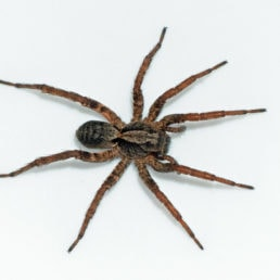 Featured spider picture of Alopecosa kochi