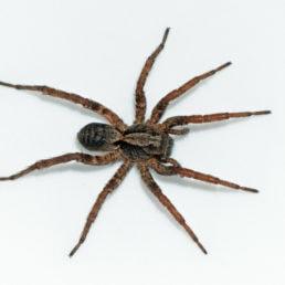 Featured spider picture of Alopecosa kochi